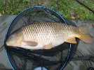 Superb 22lb Common Carp